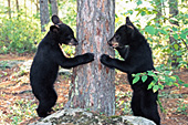 Black bear cubs playing around a tree trunk