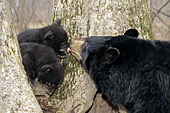 Black bear mom nuzzling her young cubs in a tree