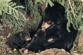 Black bear mom & 10 week-old cubs in their den