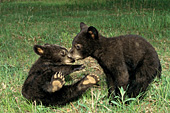 Sibling cubs playing in a birch forest