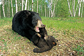 Black bear mother playing with her cub