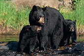 Mom & cubs standing on a large rock in a river