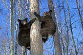 Twin bear cubs climbing the same tree