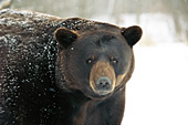 Large male bear (brown phase)