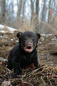 Nine week-old cub exploring outside its den