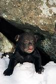 Nine week-old cub peeking out of the den
