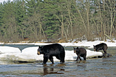Black bear family crossing a river in early spring