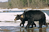 Mother and cub crossing a river in early spring