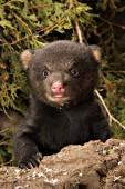 7 week-old cub in its den