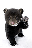 Black bear cub in spring snow