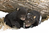 10 week-old cubs in snow (early spring)