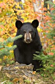 Black bear surrounded by autumn foliage