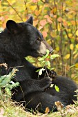 Black bear eating berries (autumn)