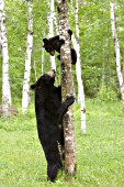 Black bear checking on her cub in a tree