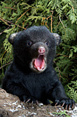 Yound cub yawning