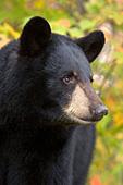 Black bear portrait (autumn)