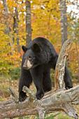 Black bear on a fallen log (autumn)