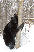 Bear scratching its chin against a tree