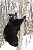 Adult bear climbing a tree in spring snow
