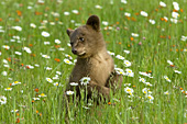 Brown cub standing in a meadow of wildflowers