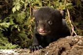 8 week-old bear cub