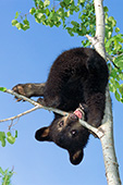 Bear cub hanging upside down in a tree