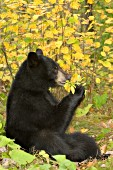 Black bear eating berries in a forest (autumn)