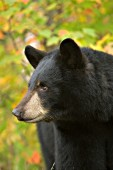 Black bear portrait (autiumn)