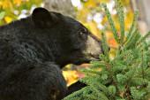 Black bear investigating a pine tree