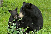 Black bear & cub eating leaves