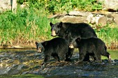 Black bear mom & cubs in a river