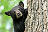 Vocal bear cub climbing a tree