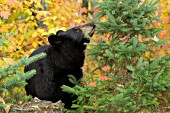 Black bear sniffing a tree