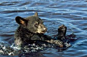 Bear cub splashing & playing in a shallow pond