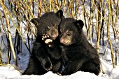 Twin bear cubs snuggling in snowy willows