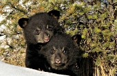 Twin bear cubs snuggling at the base of a tree