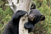 Bear cub peering around a tree trunk