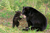Bear cub trying to coax his mother to play