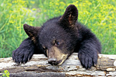 Bear cub resting his head on a log
