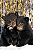 Twin bear cubs huddled together in willows