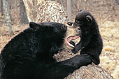 Black bear playfully mouthing her cub