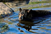 Black bear swimming in a pond