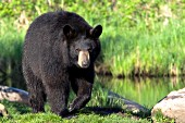 Black bear at the edge of a pond