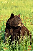 Cinammon-colored black bear in a spring meadow