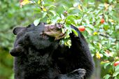 Black bear eating apples from a tree