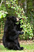 Black bear raiding a crabapple tree