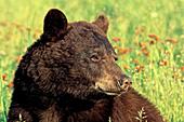 Cinnamon black bear in a spring meadow