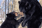 Black bear mom playing with her cub