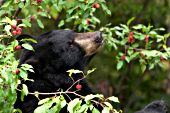 Black bear raiding a crabapple tree
