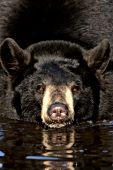 Black bear in a pond